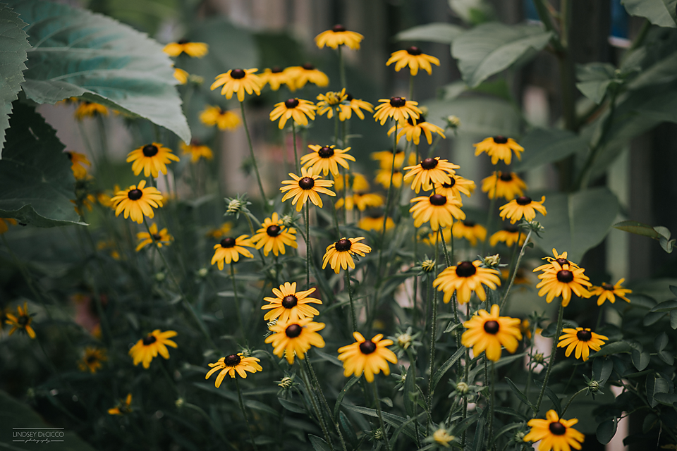39/365 Black Eyed Susans