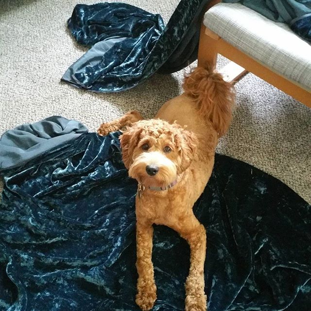 Oswin is helping her grandma make curtains for the new massage studio. Only a few more weeks! #creativity  #massage #minnesota #rosevillemn #dogsofinstagram