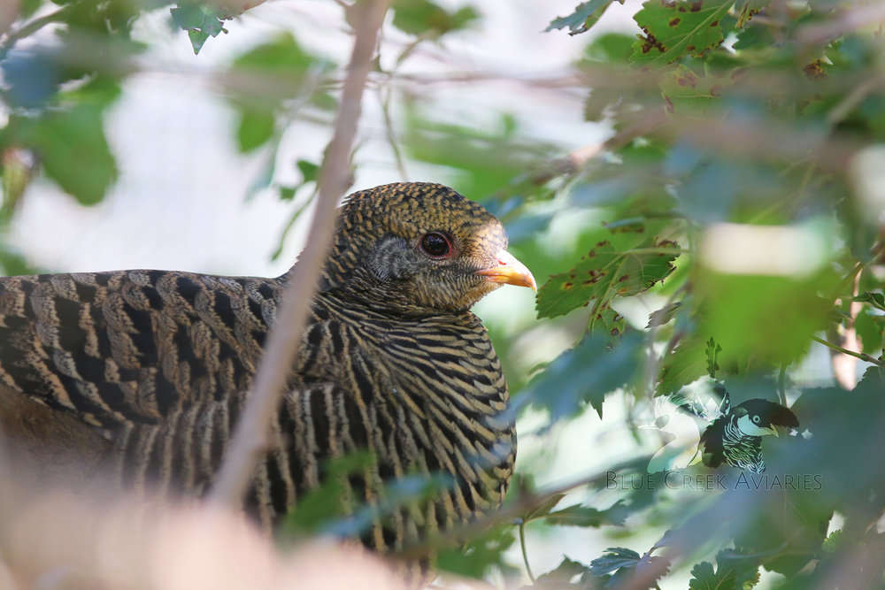 Golden Pheasant hen