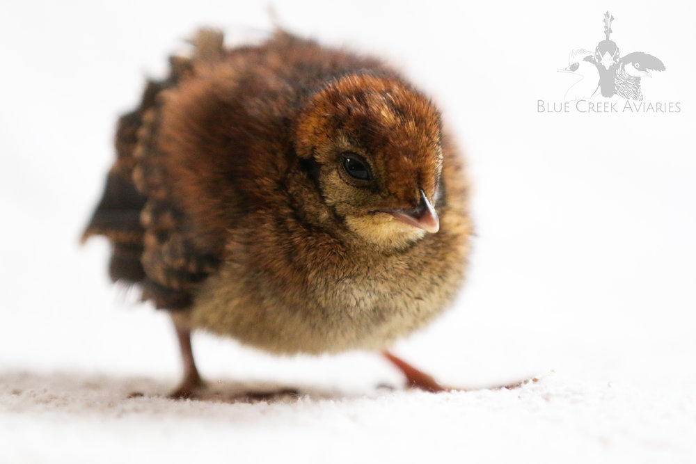 Cabot's Tragopan chick (hen)