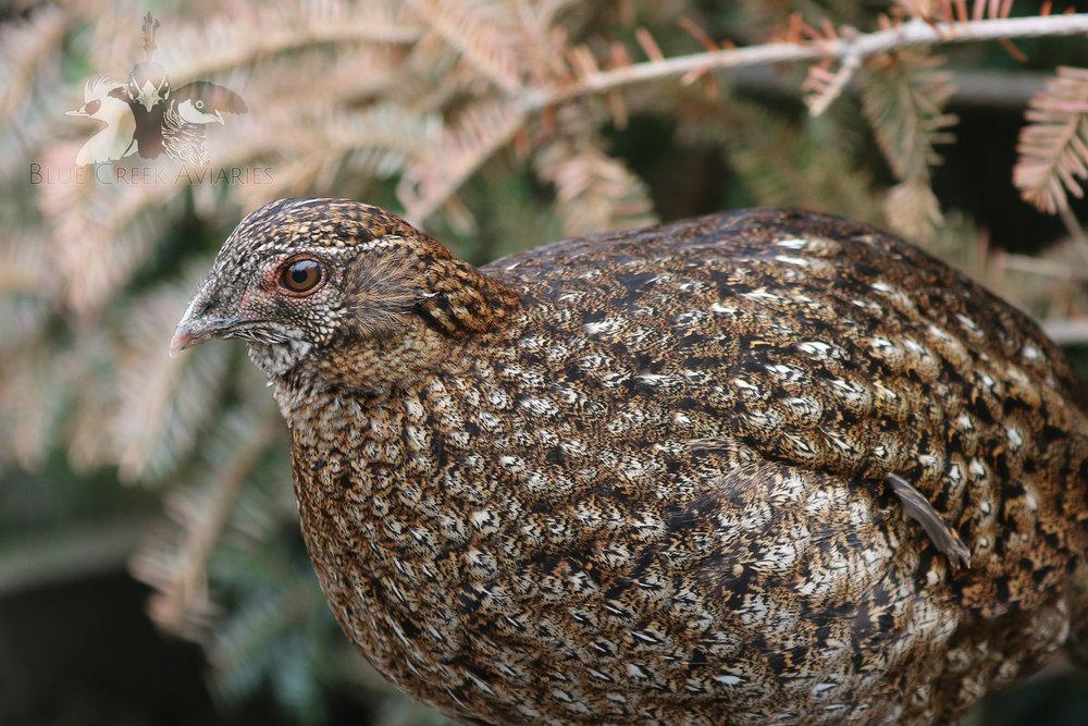 Cabot's Tragopan hen