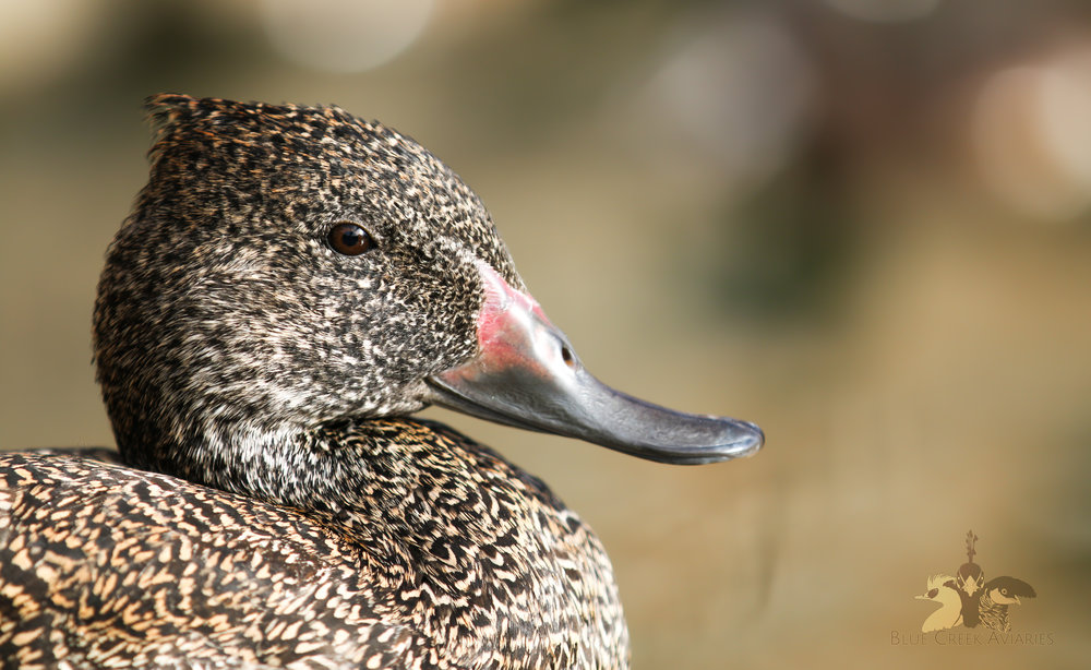 Freckled Duck drake
