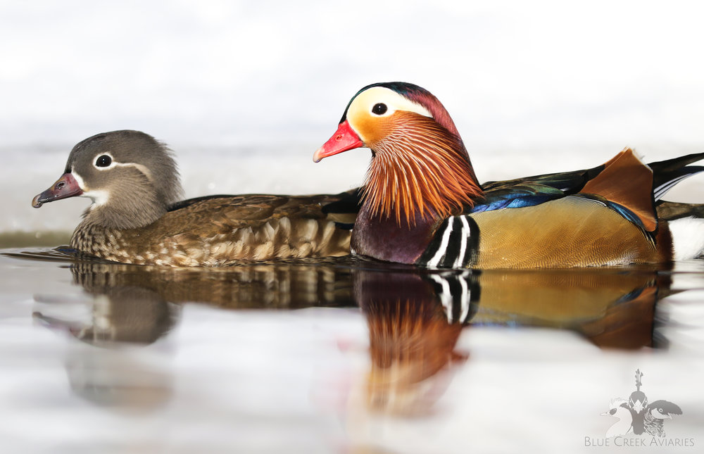 Pair of Mandarin Ducks
