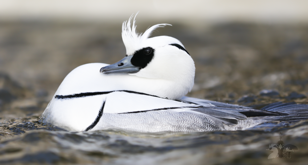 Displaying Smew drake