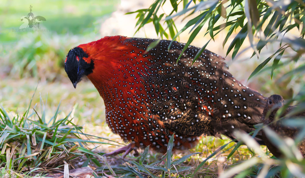 Satyr Tragopan male laterally displaying to his mate
