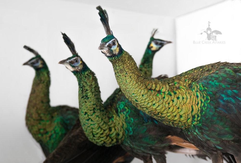 Juvenile Green Peafowl