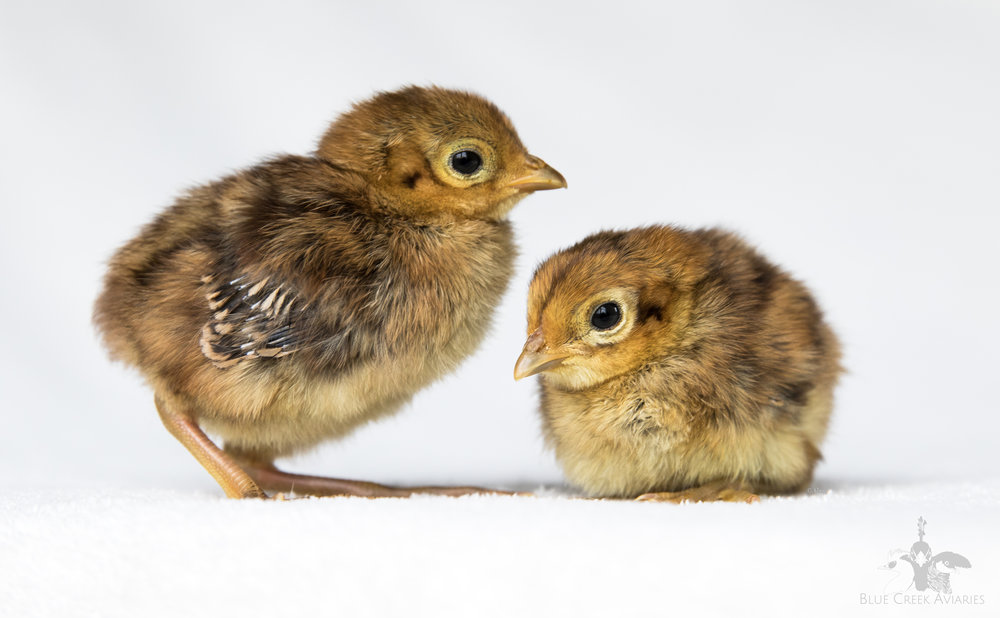 Lady Amherst Pheasant chicks