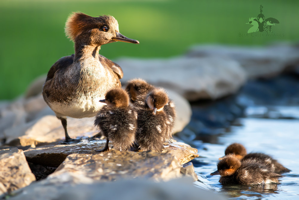 Hooded Merganser with ducklings