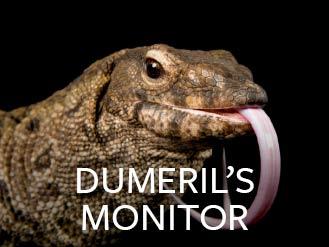 dumerils_monitor.jpg