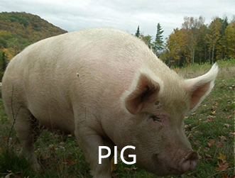 pig_15.jpg