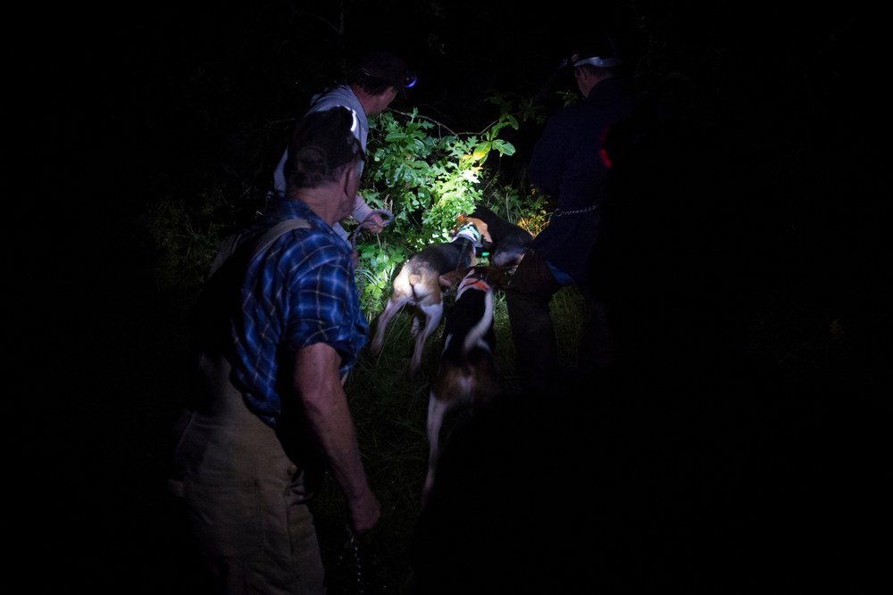 Hunters cast their dogs for the final hunt of the night outside of Fayette, Mo. in early August, 2014.