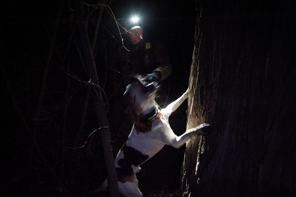 Tom Wilbers of Osage River, Mo. watches as his dog Slick bounds up the base of a tree where it has cornered a raccoon. The dogs are trained to bark until their owners come and kill the raccoon or drag the dogs away, keeping the raccoon there upwards of an hour or more.