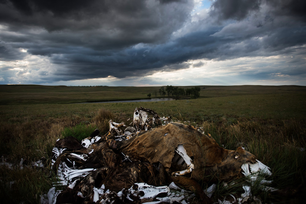"""45º31'52.6""""N, 102º07'55.2""""W. 123 miles from the nearest McDonald's.  A bone pile is stacked high on Audrey Lorius' family ranch about 5 miles outside of Meadow, SD. Lorius has 150 head of cattle, numbers built up through hard work to build up her family's ranch to a sizable number matching their 8,000 acres after she cared for both parents until their recent deaths. Part of the trials of owning a ranch, however, means that animals die not just of old age but lightning strikes or even freak snowstorms like winter storm Atlas that devastated herds in 2013."""