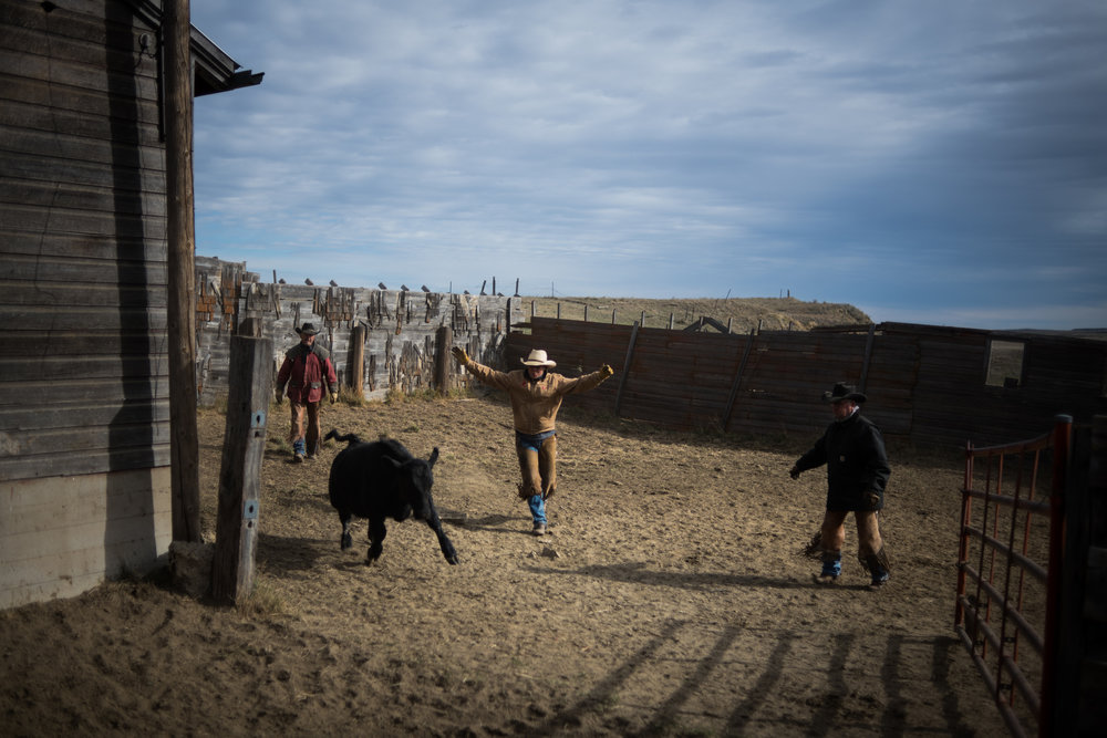 """45º38'23.3""""N, 102º02'21.7""""W. 121 miles from the nearest McDonald's.  Cowboys scare a calf into a pen while sorting them for sale on land owned by a grazing association west of Meadow, SD. Grazing associations provide a way for multiple ranchers to defray the costs of land owning and usage for grazing cattle and on occasion provide access to national grasslands and grazing areas."""