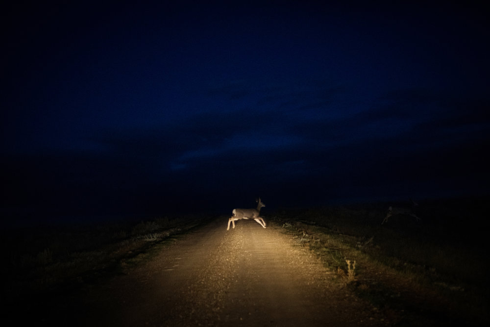"""45ª44'23.0""""N, 102º13'06.9""""W, 109 miles from the nearest McDonald's. A deer crosses the road at the Shadehill Recreation Area near the spot where frontiersman Hugh Glass was mauled, inspiring the movie """"The Revenant,"""" south of Lemmon, SD on October 6, 2017."""