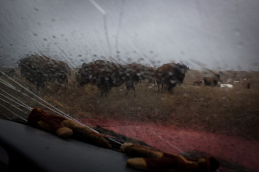 """45�19'04.0""""N 102�10'43.9""""W. 120 miles from the nearest McDonald's.A small number of America Plains Bison are seen through the cracked windshield of rancher Jamie Hepper's pickup truck in Meadow, SD on April 12, 2018. Hepper's a third-generation bison rancher, starting her own business with the help of her father, following in the footsteps of her grandfather who was one of the first to commercially ranch bison, helping to bring the species back from the brink of extinction."""