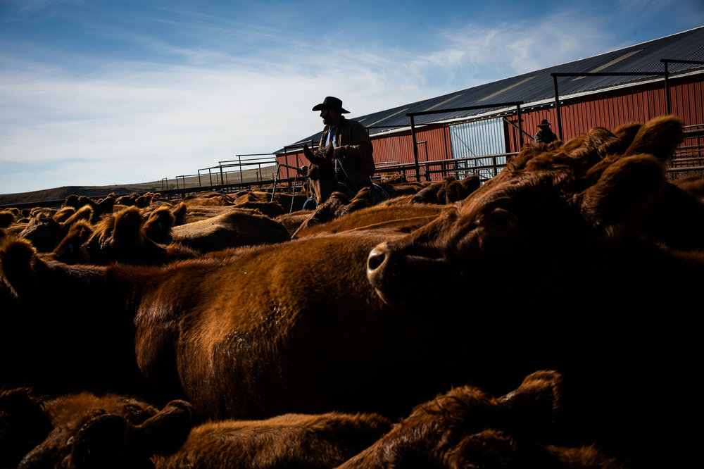 Weaning calves and giving fall shots on the Besler ranch in Bison, SD.