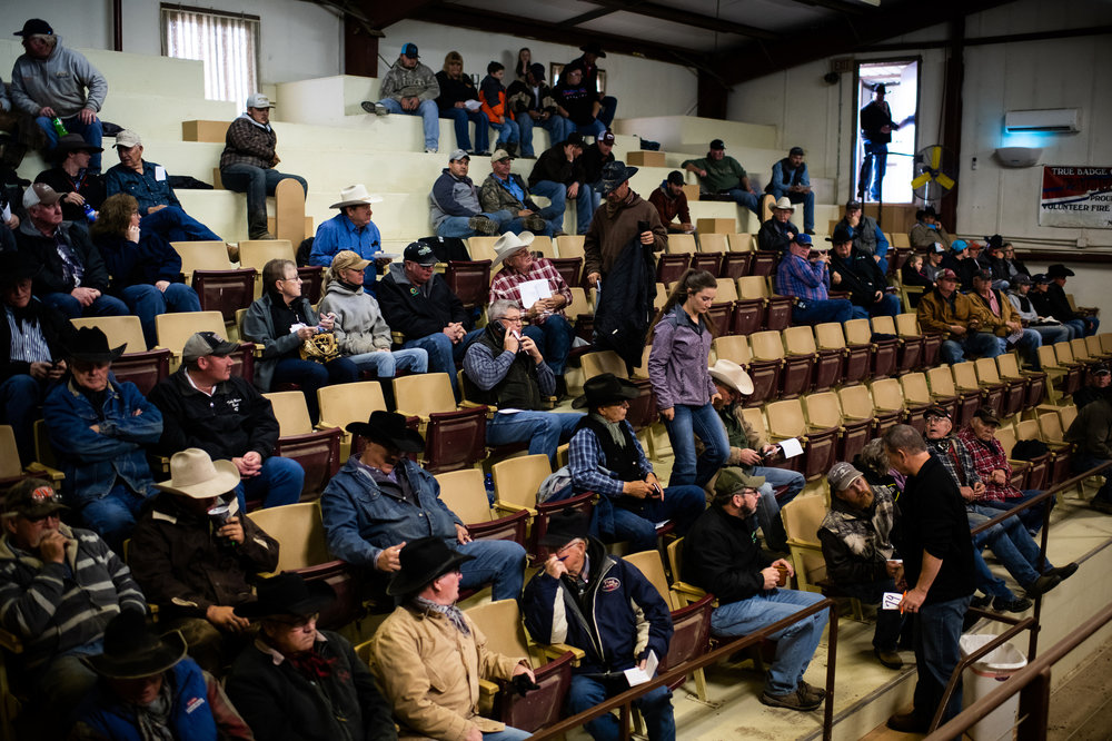 Buyers and ranchers gather for the selling of approximately 6,000 calves at the Faith Sale Barn in Faith, SD.