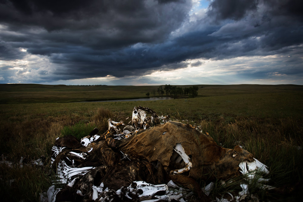 """45°31'52.6""""N 102°07'55.2""""W. 123 miles from the nearest McDonald's.  A bone pile is stacked high on Audrey Lorius' family ranch about 5 miles outside of Meadow, SD. Lorius has 150 head of cattle, numbers built up through hard work to build up her family's ranch to a sizable number matching their 8,000 acres after she cared for both parents until their recent deaths. Part of the trials of owning a ranch, however, means that animals die not just of old age but lightning strikes or even freak snowstorms like winter storm Atlas that devastated herds in 2013."""