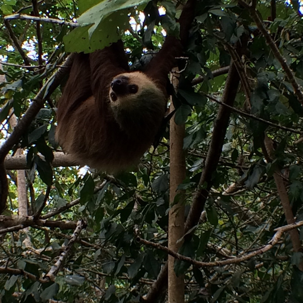 Two-toed sloth!