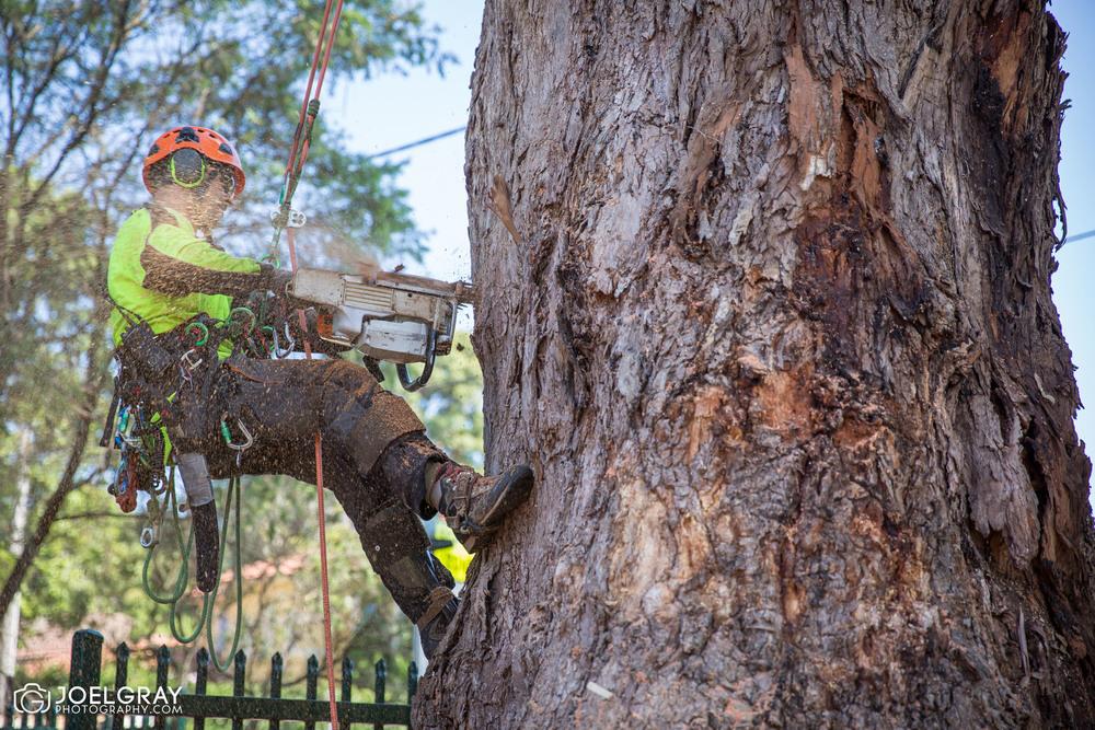sydney aborist at work in tree