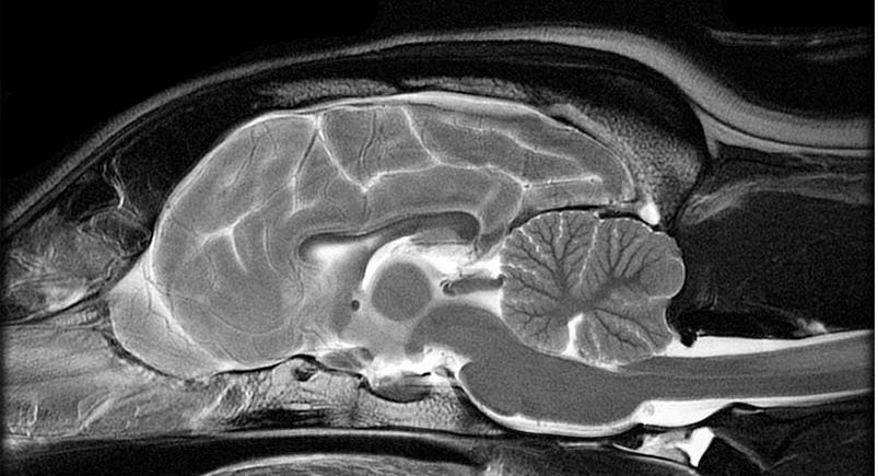 Sagittal image of a dog's brain at 1.5T