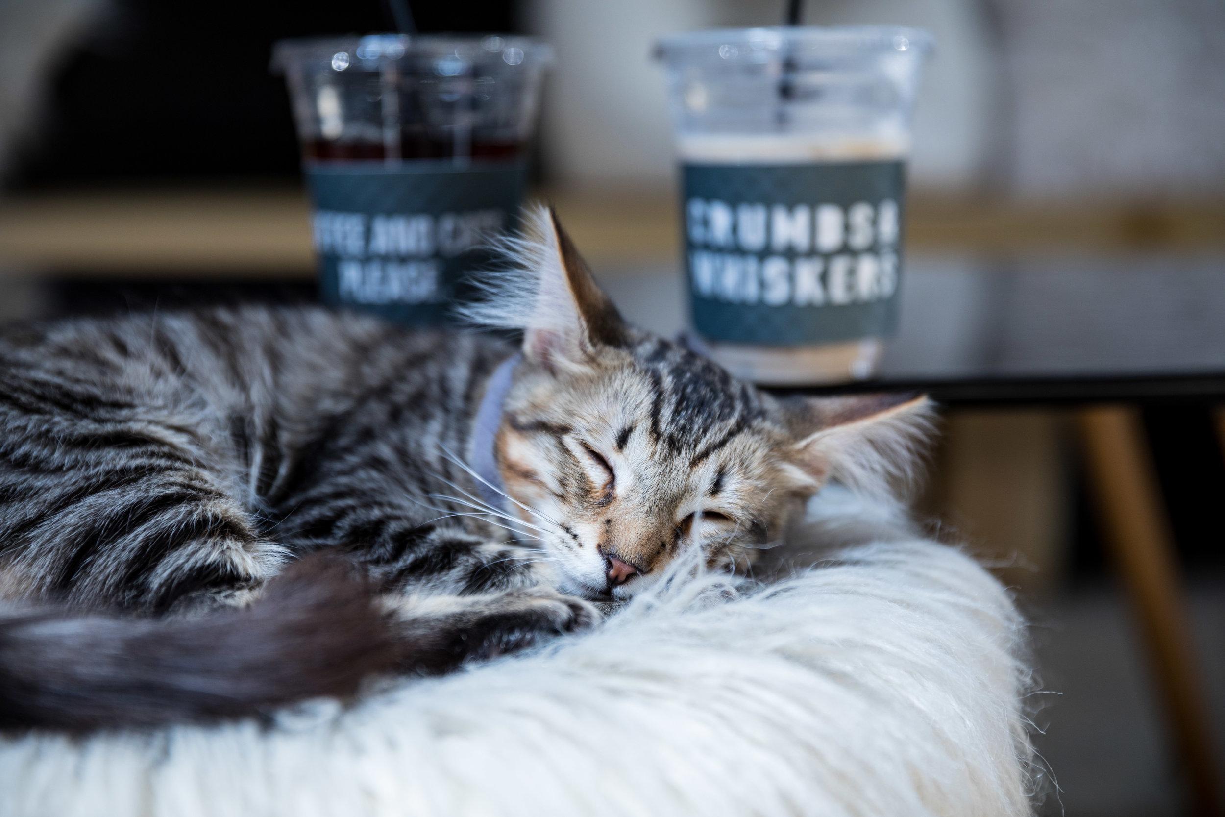 crumbs u0026 whiskers cat cafe washington dc u0026 los angeles