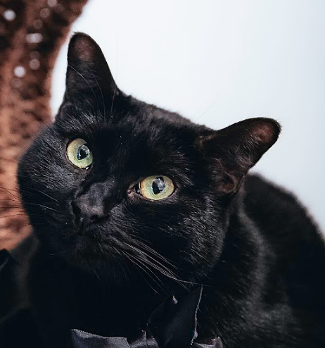 BELLA   Female ∙ 3 years   Purrsonality:   Very sweet and mellow Loves:   Snuggles in a basket or your lap. Celebrity doppelganger: Toothless from  How to Train your Dragon.