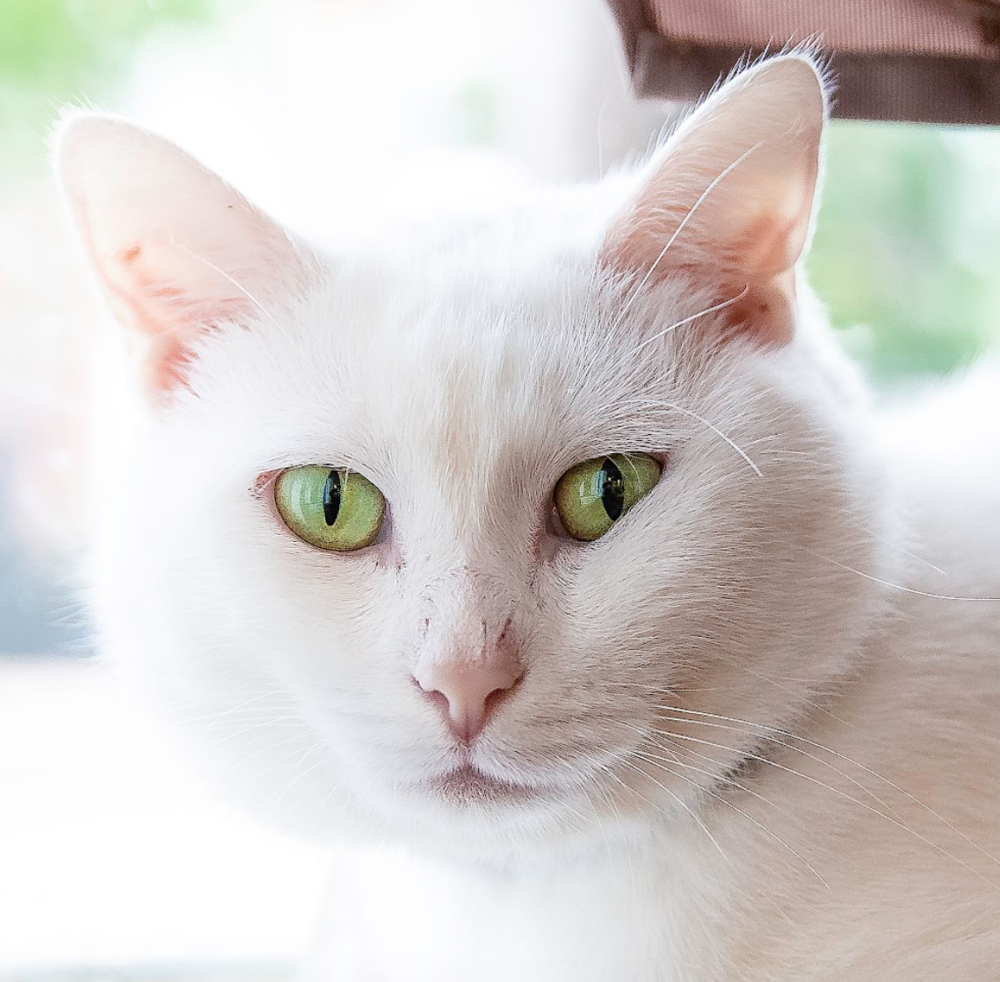 ARTHUR   Male ∙ 2 years   Such a love bug. Loves to play, but also super affectionate.