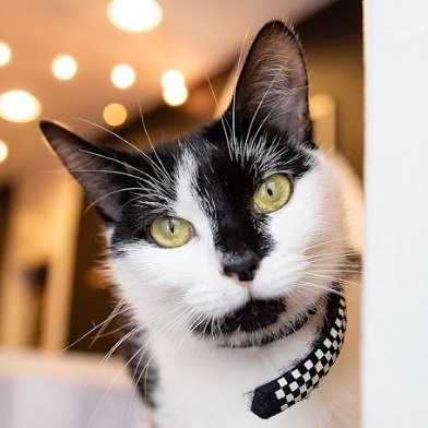 SYMPHONY   Female ∙ 2 years    Purrsonality:  Very affectionate and playful. A little sassy, but that's what makes her fun!