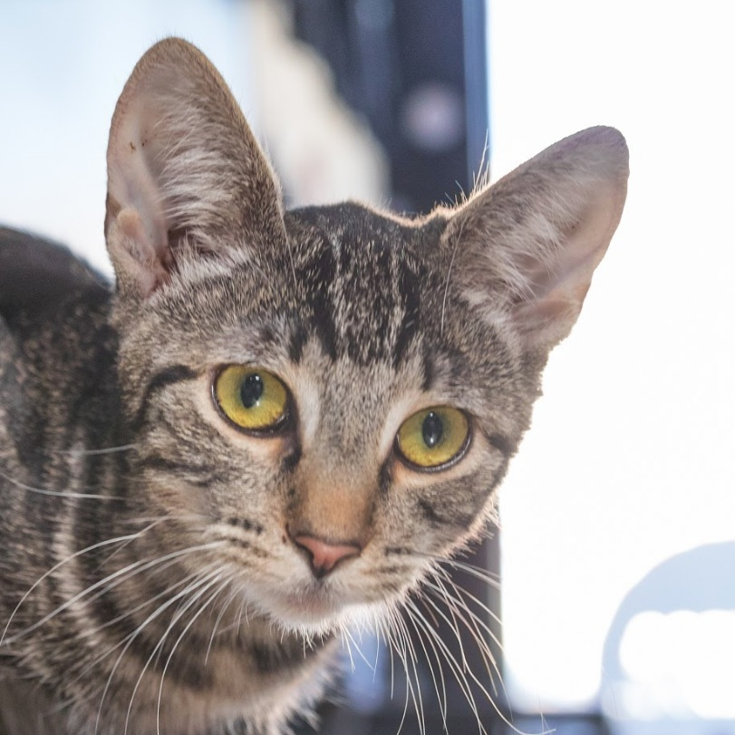 JUDY   Female ∙ 6 months∙ Aries    Purrsonality:  Wild child. Judy plays like a wildcat. She loves every toy imaginable.