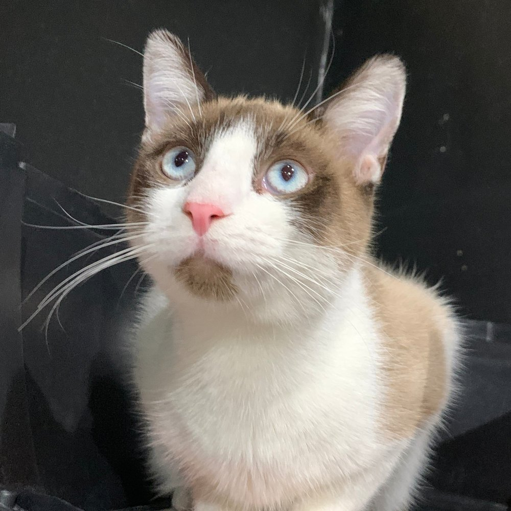 POOH   Male ∙ 7 months∙ Leo    Purrsonality:  Will play with your purse and attack your pillows. Pooh loves to play and he precision gets him chasing mouse toys all over the cafe! Also, we LOVE his crystal blue eyes.