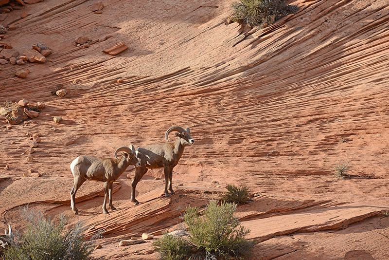 airstream rental san diego utah big horn sheep.jpg