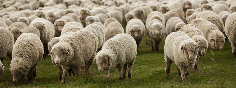 Merino Sheep (Tharwa Sands).jpg