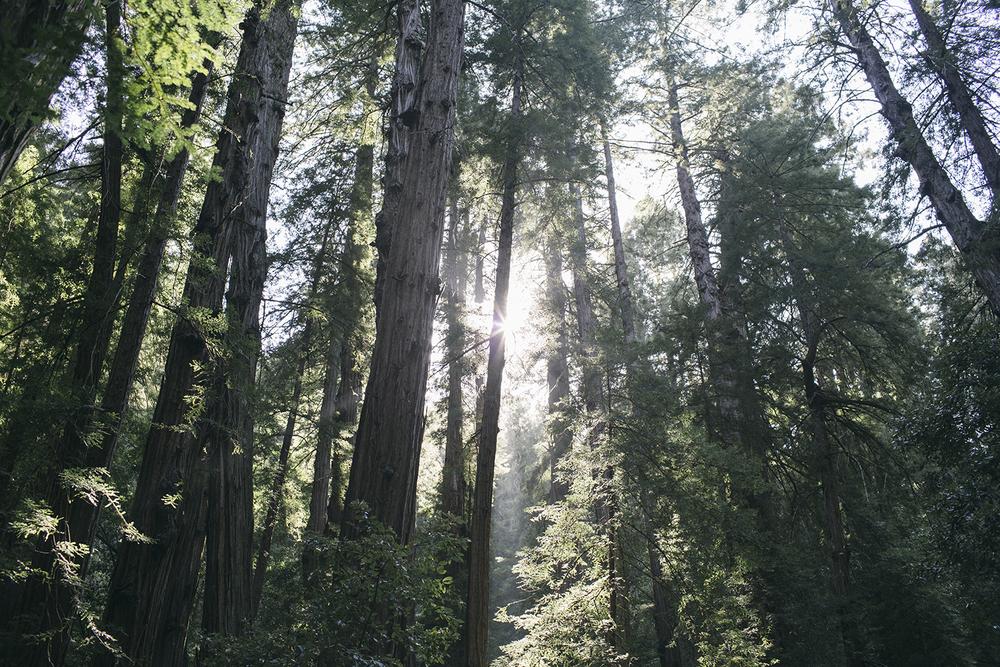 Muir Woods, San Fran.