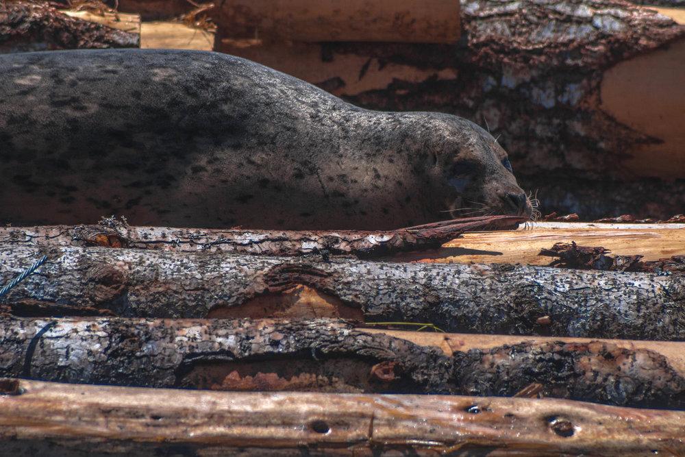 Wallowing seal