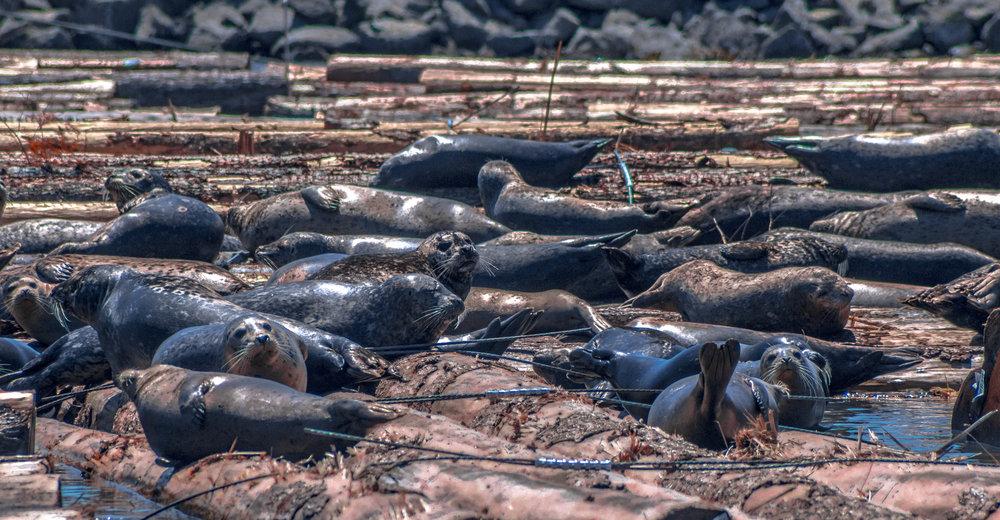Wallowing seals