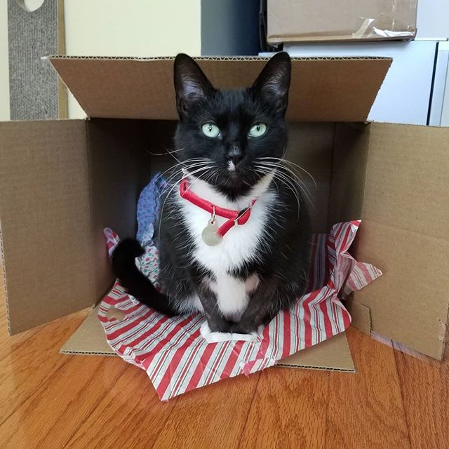 #tbt to my first tissue paper box with Christmas tissue paper... 🎅 #tissuepaperboxparty #worldaccordingtocasey #vanishwinterdoldrumstissueparty🎉 #adoptdontshop #catitude #tuxedocatsofinstagram #blackandwhitecat #catstagram #catlife