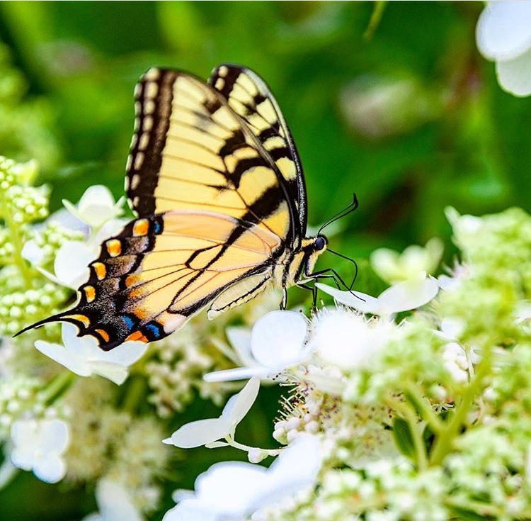 Eastern Tiger Swallowtail. Photo courtesy of  https://www.instagram.com/whitewaterimagery/