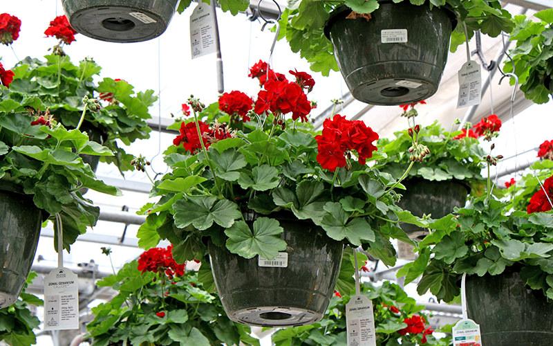 wenke-hanging-baskets.jpg