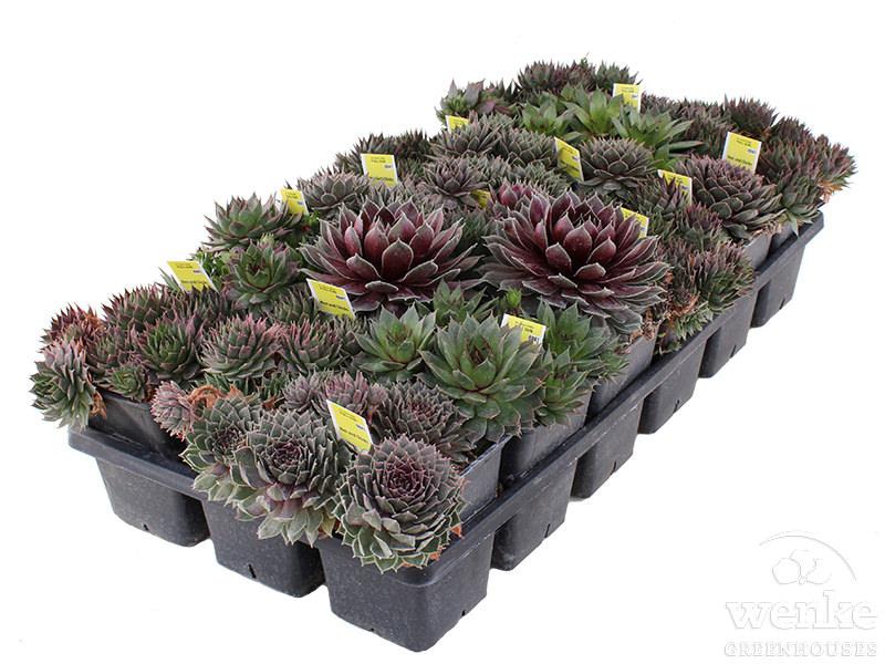 """3.5"""" Succulent"""