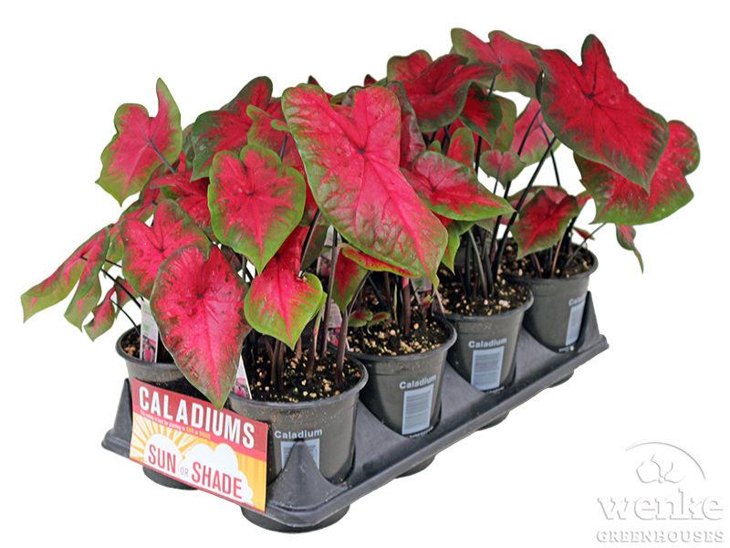 1-qt Caladium