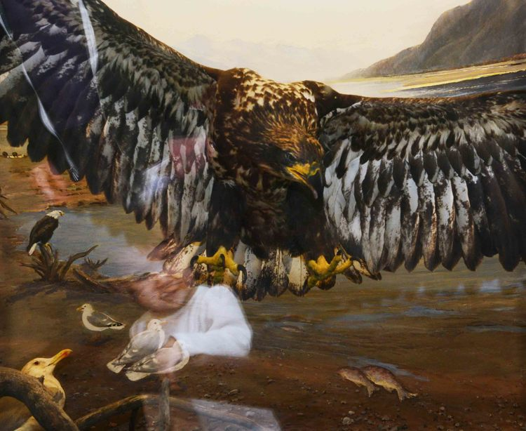 Traer Scott, Natural History. Bald Eagle.