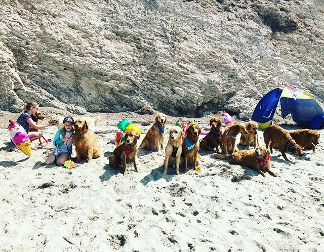 I wasn't so great at posing for the group photo, but I had a great time at the @socalgoldenretrievers Santa Barbara meet up! #dogsofsantabarbara #goldenretrieversofinstagram #goldenretrieverpuppy #socalgoldenretrievers