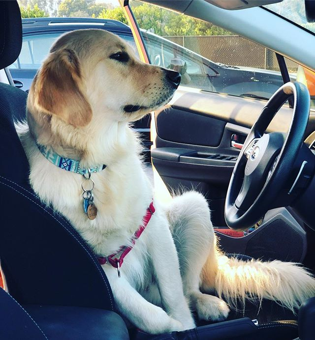 """If those dogs in the @subaru_usa commercials can do it, why can't I?!"" 🚗💨 #vroomvroom #goldenretrieversofinstagram #goldenretrieverpuppy #dogsofsantabarbara #subarudogs"