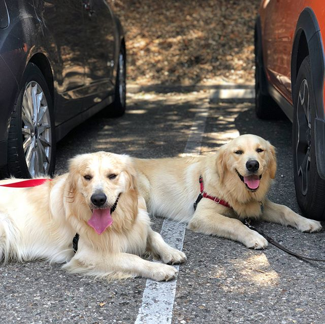 I met my brother @max_the_golden_boy for a play date today!!! Thanks for coming all the way to Santa Barbara to frolic at the dog park with me this afternoon 🐶💙 Aren't we handsome boys?! #goldenretrieversofinstsgram #goldenretrieverpuppies #goldenretrieverbrothers #goldenmeadowsretrievers #dogsofsantabarbara