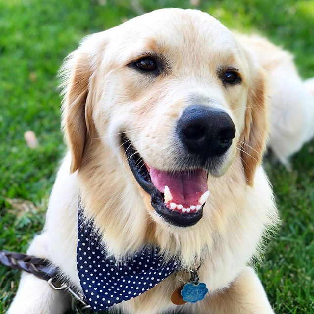 Let's be real, every day is #nationaldogday when you're this handsome 😏 #goldenretrieversofinstsgram #dogsofsantabarbara #handsomepup
