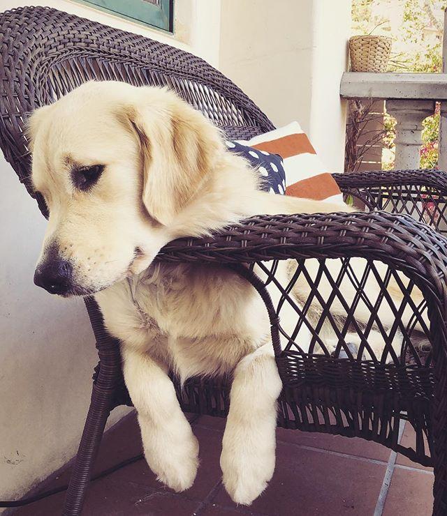 Take me back to the weekend 😫 #goldenretrieversofinstsgram #dogsofsantabarbara #mondaze #doggo #pupper