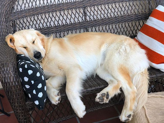 ✅Beach ✅Treats ✅ Snoozin' #goldenretrieversofinstsgram #dogsofsantabarbara #snoozles #doggo #pupper