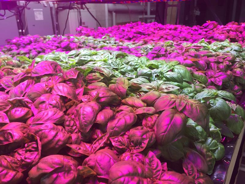 Indoor Farm, Verticulture Farm, Pfizer Building, Edible Brooklyn